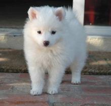 american_eskimo_dog2
